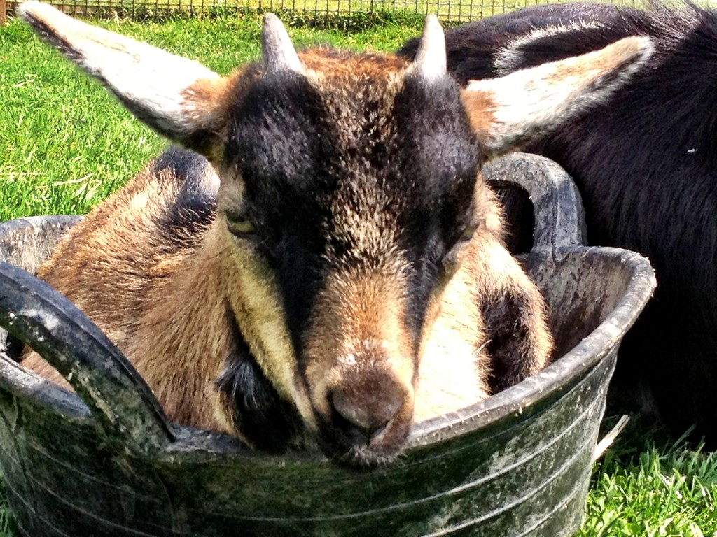 Goat in bucket