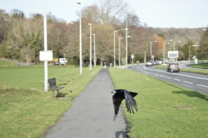 The Lewes Road Crow.