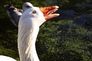Goose tongue