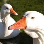 Goose with adams apple
