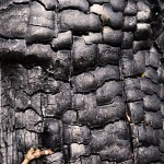 Charred tree snakeskin